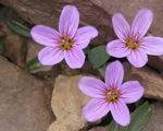 Spring beauty (Claytonia)